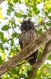 Uma coruja estígia sonolento Fotografia de Stock
