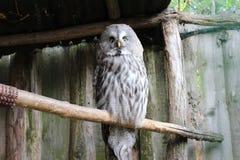 Uma coruja que dá um olhar assustador Imagem de Stock
