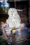Uma coruja sábia que senta-se em olhar fixamente da gaiola fotografia de stock