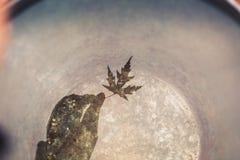 Uma cubeta completamente da água reflete uma mão que guarda uma folha de bordo bonita O conceito da melancolia do outono fotos de stock
