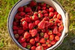 Uma cubeta completamente de morangos frescas Fotografia de Stock Royalty Free
