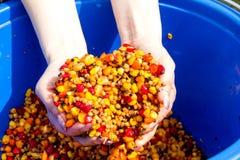 Uma cubeta do milho colorido fervido Fotografia de Stock Royalty Free