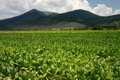 Uma cultura do tabaco fotografia de stock royalty free