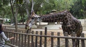 Uma curvatura do girafa para baixo para a alimentação vegetal Fotografia de Stock
