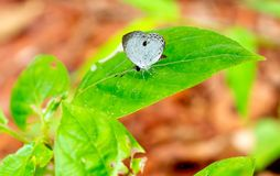 Uma da estada branca pequena da borboleta do teste padrão na folha verde da planta na floresta do parque nacional em Tailândia fotografia de stock