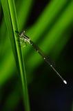 Damsel-mosca Fotografia de Stock Royalty Free