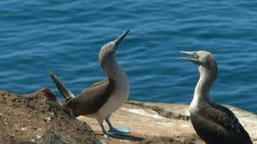 Uma dança azul-footed do peito nas ilhas dos galalagos, Equador vídeos de arquivo