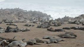 Uma das colônias as maiores de lobo-marinhos no mundo video estoque