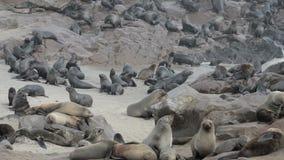 Uma das colônias as maiores de lobo-marinhos no mundo vídeos de arquivo