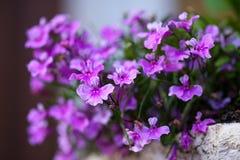 Uma das primeiras flores da mola floresceu Fotos de Stock Royalty Free