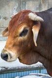 Uma das raças do gado do gebo imagens de stock royalty free