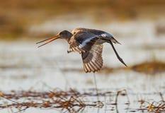 Uma descolagem de cauda negra da limosa Foto de Stock