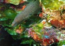 Uma enguia de Goldspotted emerge do recife imagens de stock
