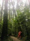 Uma equipe diretiva dos parques inspeciona uma árvore de abeto aproximadamente para cair foto de stock