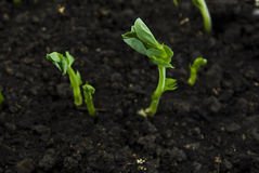 Uma ervilha sprouts no solo Fotos de Stock Royalty Free