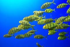 Uma escola de peixes amarelos imagem de stock