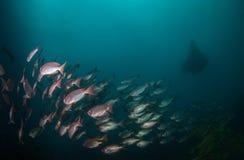 Uma escola de peixes grandes do olho da cauda crescente com um raio de manta Imagens de Stock Royalty Free