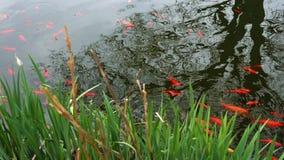Uma escola do peixe dourado aproxima-se perto da costa de uma lagoa alt vídeos de arquivo