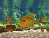 Uma escola do Sunfish do Bluegill fotos de stock royalty free