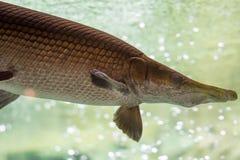 Uma espátula de Atractosteus do peixe-agulha do jacaré ao nadar em um a enorme fotografia de stock royalty free