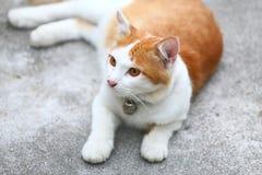 Uma espera amarela do gato a olhar fixamente travado Fotografia de Stock Royalty Free