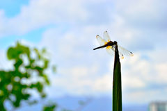 Uma estada transparente amarela da libélula em uma grama fotos de stock royalty free
