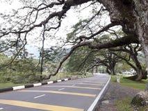 Uma estrada cênico com a fileira dos raintrees perto de um lago imagens de stock royalty free
