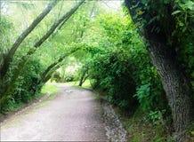 Uma estrada cercada por árvores enormes Fotos de Stock Royalty Free