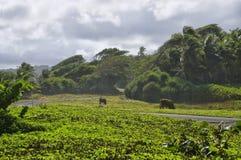 Uma estrada entre prados verdes Ilha de Domínica Imagem de Stock Royalty Free