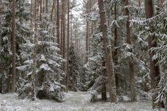 Uma estrada nevado em um canal conífero da floresta na floresta e as árvores cobriram com a neve fresca foto de stock