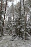 Uma estrada nevado em um canal conífero da floresta na floresta e as árvores cobriram com a neve fresca fotos de stock