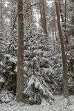 Uma estrada nevado em um canal conífero da floresta na floresta e as árvores cobriram com a neve fresca imagem de stock royalty free