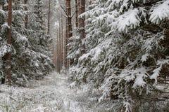 Uma estrada nevado em um canal conífero da floresta na floresta e as árvores cobriram com a neve fresca foto de stock royalty free
