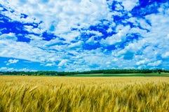Uma exploração agrícola do trigo no dia ensolarado em Kansas Imagens de Stock Royalty Free