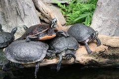 Uma família das tartarugas Foto de Stock Royalty Free