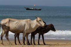 Uma família das vacas anda ao longo da praia Paisagem indiana típica Imagens de Stock