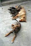 Uma família de cão Imagem de Stock