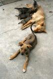 Uma família de cão Foto de Stock