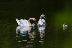 Uma família de cisnes mudas fotografia de stock
