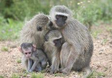Uma família de macacos de Vervet Foto de Stock