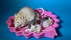 Uma família de ratos decorativos, a mamã e suas crianças pretas e bege pequenas comem o queijo que senta-se em uma placa cor-de-r vídeos de arquivo