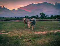 Uma família do búfalo Imagem de Stock Royalty Free