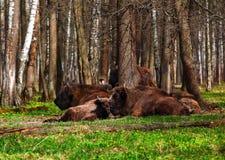 Uma família do bisonte em um parque nacional Imagem de Stock Royalty Free