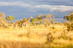Uma família do girafa no parque de Kruger foto de stock royalty free