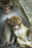 Uma família do macaco Fotos de Stock Royalty Free