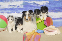 Uma família do Sheepdog de Shetland em uma praia Fotos de Stock