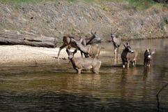 Uma família dos cervos foto de stock