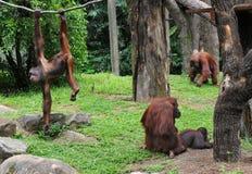 Uma família dos chimpanzés Fotografia de Stock Royalty Free