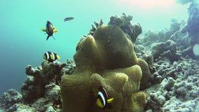 Uma família dos clownfish que cercam sua anêmona bonita filme