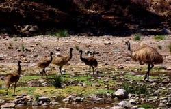 Emus no desfiladeiro de Parachilna Imagens de Stock Royalty Free